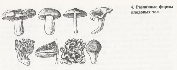 Различные формы плодовых тел