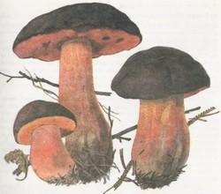 Поддубник (дубовик) крапчатый (боровик зернистоногий, болетус красноножковый)