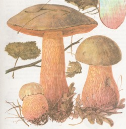Дубовик оливково-бурый, дубовик обыкновенный, поддубовик