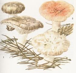 Hygrophorus marzuolus, Hygrophorus russula