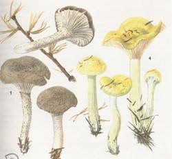 Hygrophorus pustulatus, Hygrophorus lucorum