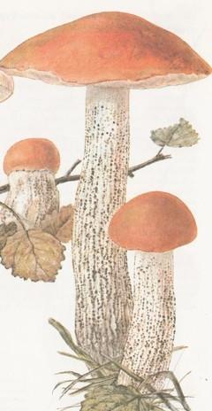 Подосиновик (осиновик) красный, красноголовик