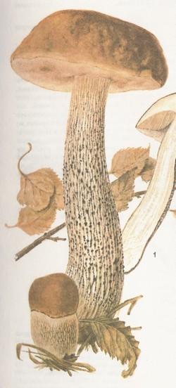 Подберезовик (березовик) обыкновенный