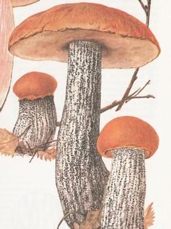 Подосиновик (осиновик) желто-бурый, красно-бурый