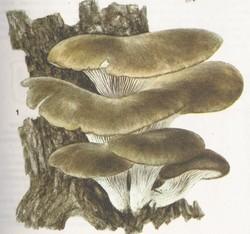 Pleurotus ostreatus, Pleurotus pulmonarius