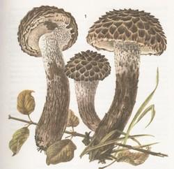Шишкогриб (стробиломицес) хлопьеножковый